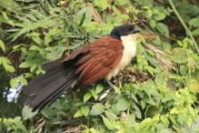 Kukal niebieskogłowy - Centropus monachus - Blue-headed Coucal