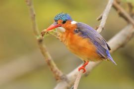 Zimorodek malachitowy - Corythornis cristatus  - African Malachite Kingfisher