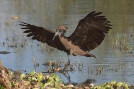 Waruga - Scopus umbretta - Hamerkop