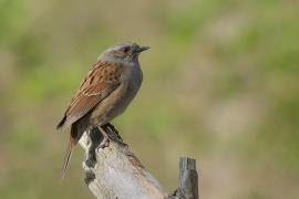 Pokrzywnica - Prunella modularis - Hedge Accentor