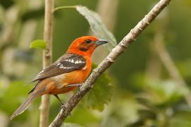 Piranga ognista - Piranga bidentata - Flame-colored Tanager