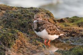 Kamusznik - Arenaria interpres - Ruddy Turnstone